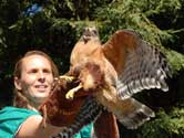 Releasing a rehabilitated Red-shouldered Hawk