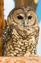 Sequoia the Northern Spotted Owl