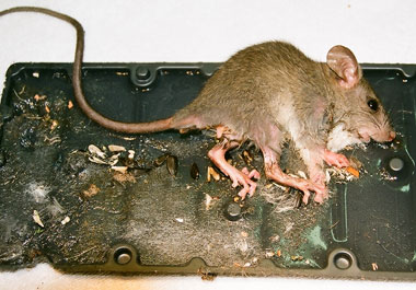 Rat stuck to glue trap