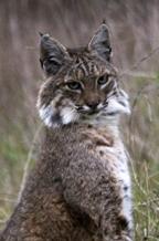 Bobcat portrait, photo by Trish Carney