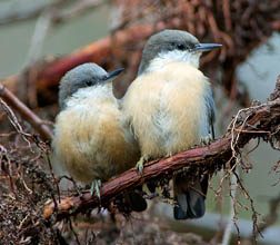 Pygmy Nuthatches. Photo by Greg Wilson