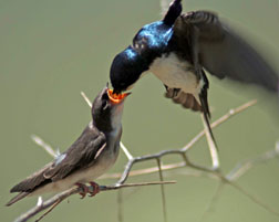 Tree Swallow feeding a fledgling. Photo by Rebecca Olson