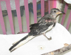 Malnourished mockingbird. Photo by JoLynn Taylor