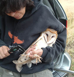Anne Ardillo bands a Barn Owl