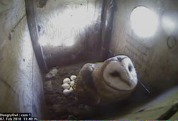 Barn Owl in box. Photo from HOP's Owl Cam