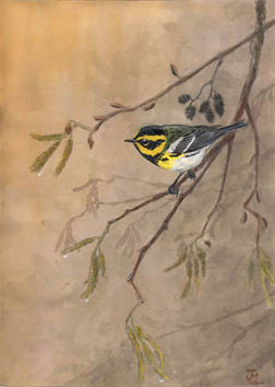 Townsends Warbler. Illustration by John Muir Laws