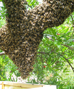 Healthy colony of bees