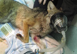 Coyote under anaesthesia. Photo by JoLynn Taylor