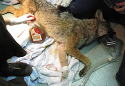 The coyote's wound is bandaged. Photo by JoLynn Taylor