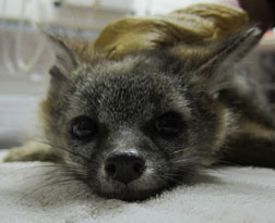 Gray Fox kit being examined. Photo by Melanie Piazza