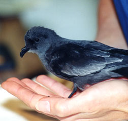 Ashy Storm-petrel at WildCare. Photo by JoLynn Taylor