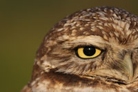 burrowing-owl-portrai_Kallman_200.jpg