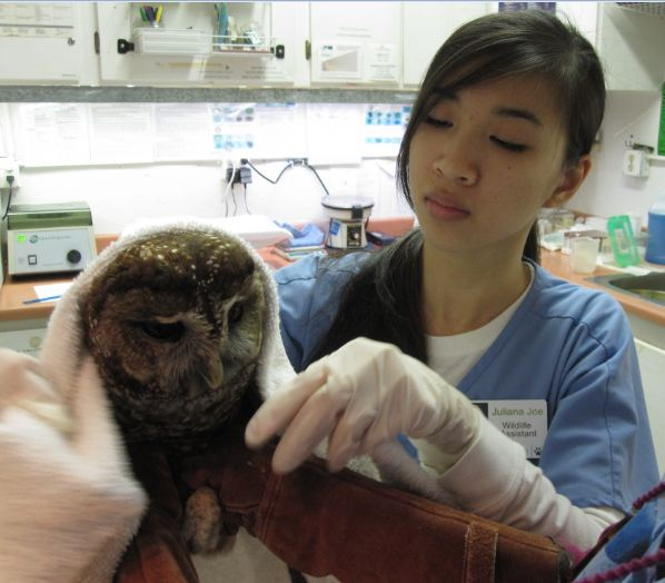 Northern Spotted Owl in the hospital. Photo by Alison Hermance