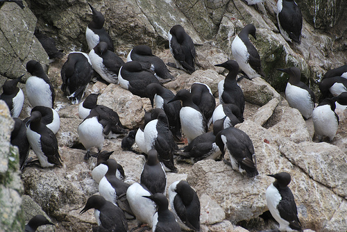 Common Murres. Photo from kqedquest
