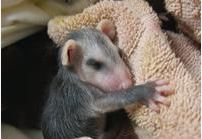 Opossum card. Photo by Alison Hermance