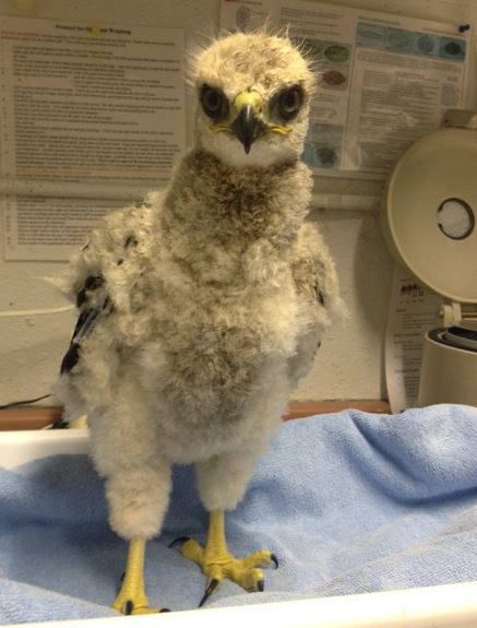 Baby Red-tail at WildCare. Photo by Melanie Piazza