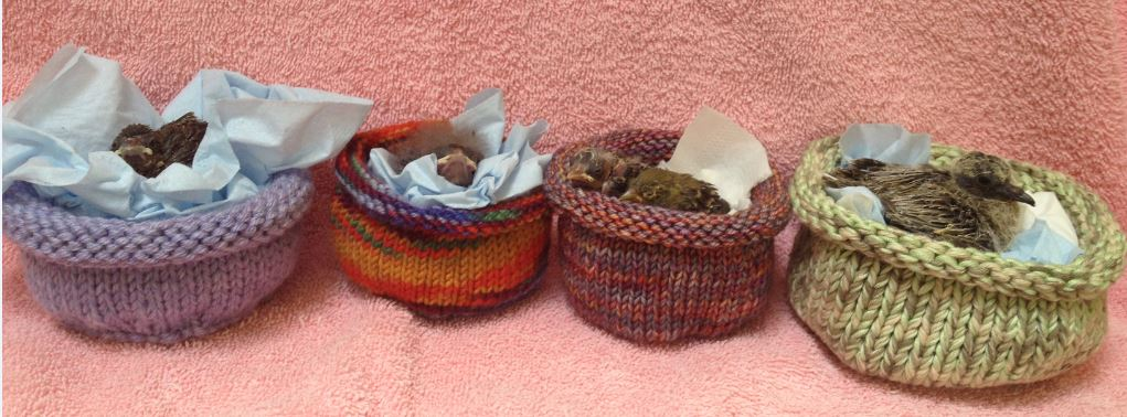 Baby birds in knitted nests. Photo by Melanie Piazza