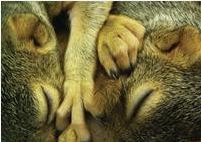Baby fox squirrels. Photo by Alison Hermance